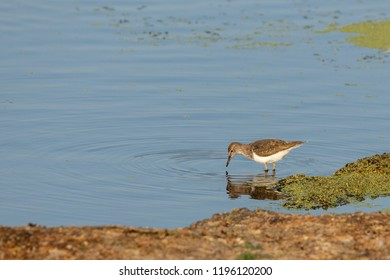 The common sandpiper (Actitis hypoleucos) is a small bird.