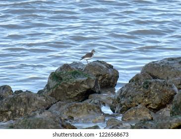 Common sandpiper, Actitis hypoleucos, wader, bird