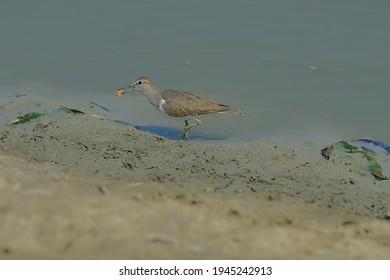 Common Sandpiper isolated in habitat