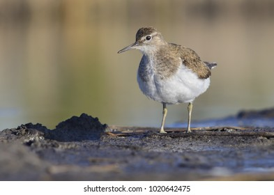 Common Sandpiper stands on the ground. Actitis hypoleucos