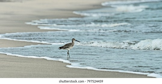 Common Sandpiper waits patiently for the tide to bring in food