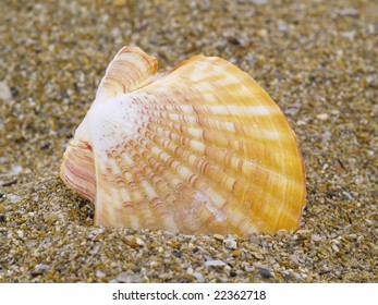 common scallop in the sand
