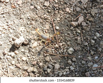 Common scorpion, San Gabriel Mountains, California, United States.