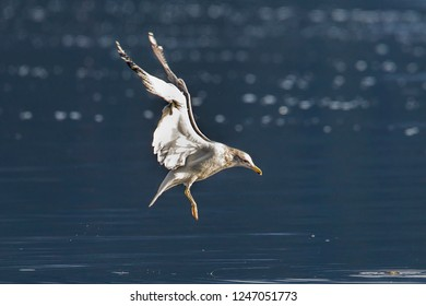 A common seagull hovers just above the waters of Coeur d'Alene Lake in north Idaho.