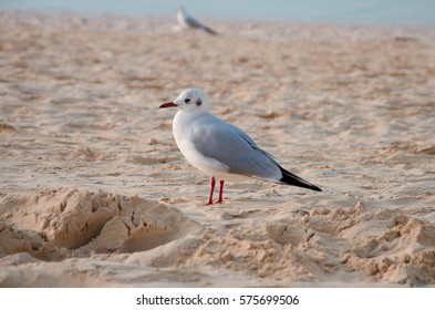 A common seagull (Larus canus) is staying on the sand beach.