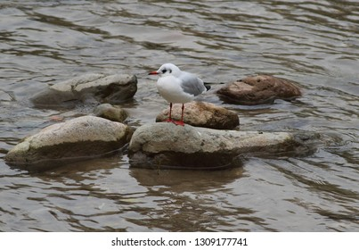 The common seagull is a shrewd hunter, able to adapt even to different environments from the marine one