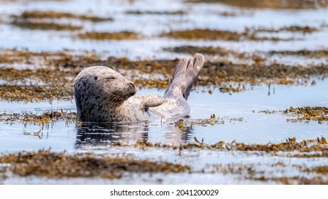 Common seal (harbour seal) sun bathing with his eyes closed in shallow water surrounded by seaweed in a calm ocean