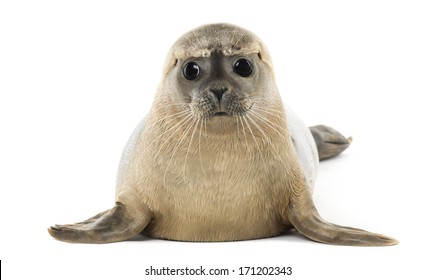 Common seal lying, facing, Phoca vitulina, 8 months old, isolated on white