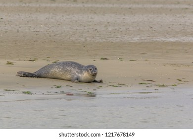 Common seal near the water in nature reserve the Oosterschelde in the Netherlands