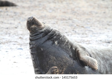 Common Seal in Norfolk