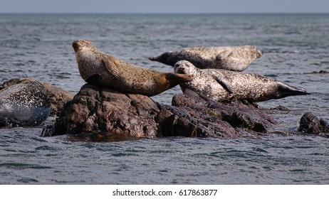 Common Seal (Phoca Vitulina) and Grey Seals (Halichoerus Grypus) on Shore of Scotland, United Kingdom