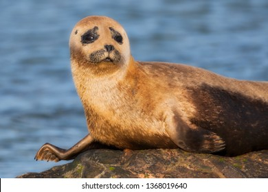 Common seal pup enjoying sunshine on a rock