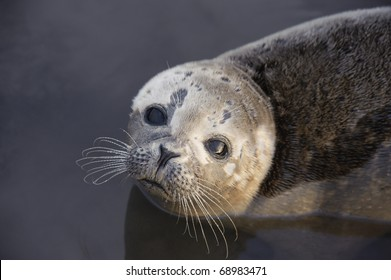 Common Seal Pup Portrait. Portrait of a young wild Common or Harbor Seal resting in water with the sky and sea reflecting in its eye.