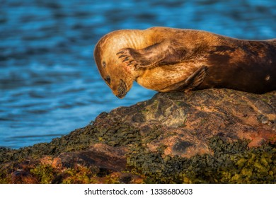 Common seal pup sunning herself on a rock