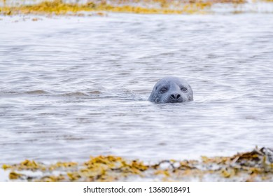 Common seal pup swimming in the ocean