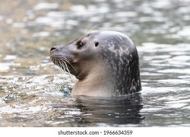 Common seal in the water with visible ear opening. Close-up portrait of the cute harbor seal (Phoca vitulina), side view.