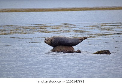 Common Seals Basking on Rocks