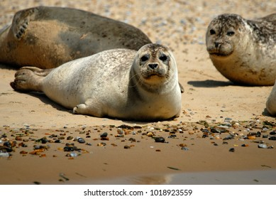 Common seals hauled out on beach in Norfolk, UK. July
