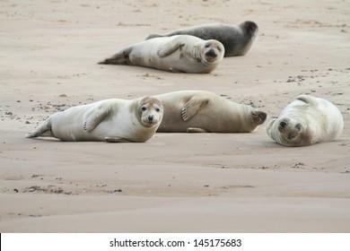 Common Seals in Norfolk
