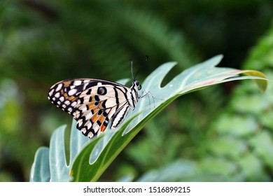 Common sergeant butterfly (also known as  Athyma perius)