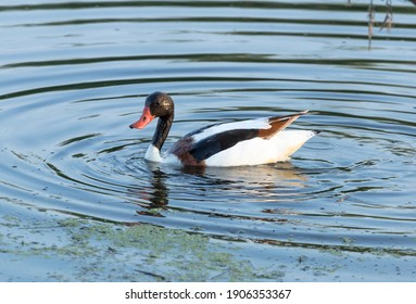 The common shelduck is a waterfowl species of the shelduck genus, Tadorna