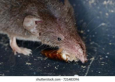 Common shrew (Sorex araneus)