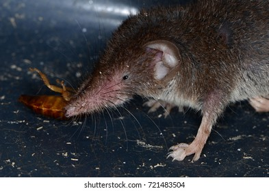 Common shrew (Sorex araneus)