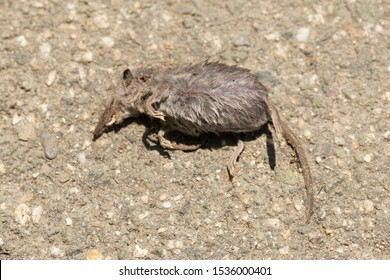 Common shrew (Sorex araneus), also known as the Eurasian shrew. Dead animal.