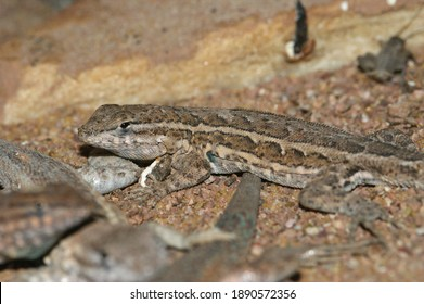 The common side-blotched lizard,  Uta stansburiana, lives in dry regions of western US and north of Mexico.