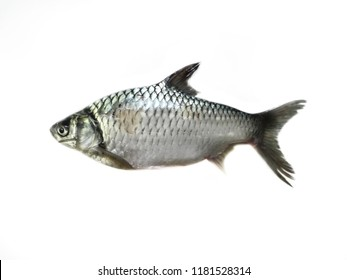common silver barb fish on white background