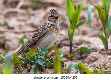 A common skylark is searching for fodder on a field