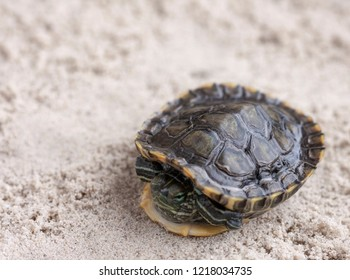 Common Slider, also known as Cumberland Slider Turtle, Red-eared Slider Turtle, Slider (Trachemys scripta) on a sand