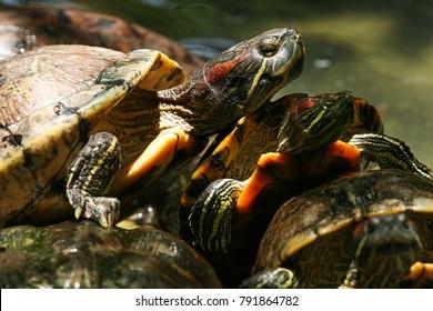 Common slider Turtle  wild animal