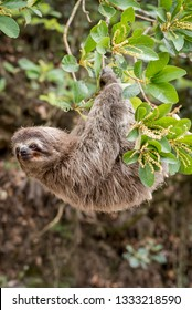 Common Sloth on jungle
