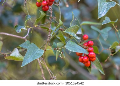 Common smilax (Smilax aspera) climbing plant winding on wall