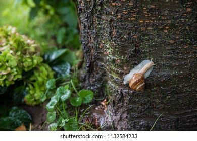 Common snail climbs on a tree during rain
