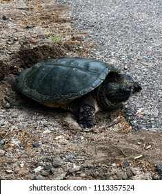 Common Snapping Turtle or Cheldra Serpentina laying eggs in a gravel nest