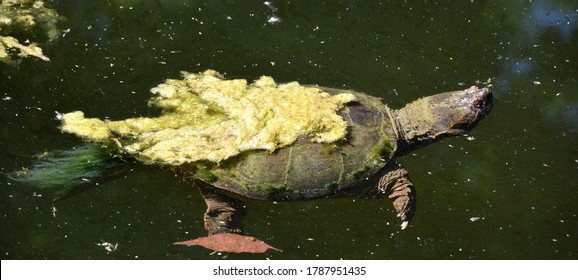 The common snapping turtle (Chelydra serpentina) is a large freshwater turtle of the family Chelydridae.