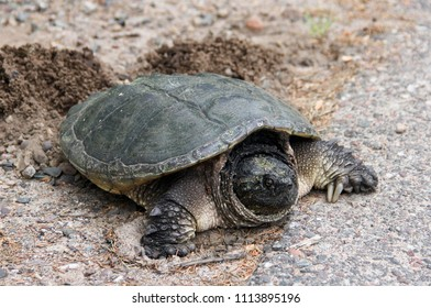 Common Snapping Turtle laying eggs in a nest