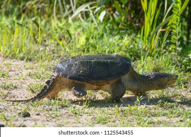 A common snapping turtle walks at Kenilworth Aquatic Gardens in Washington, DC.
