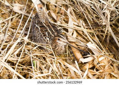 Common snipe among a bog in the spring