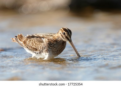 Common Snipe feeding in shallow water