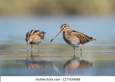 The common snipe (Gallinago gallinago) is a small, stocky wader.