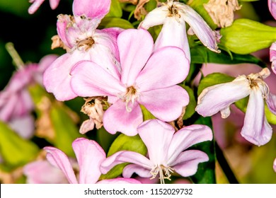 Common soapwort, with flower
