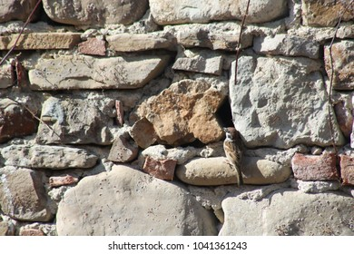 common sparrow built a nest between two stones of an old wall