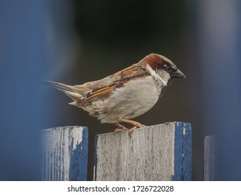 Common sparrow perching on the fence