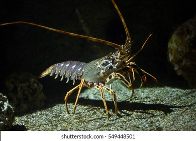 Common spiny lobster (Palinurus elephas), also known as the Mediterranean lobster.