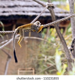 A common squirrel monkey