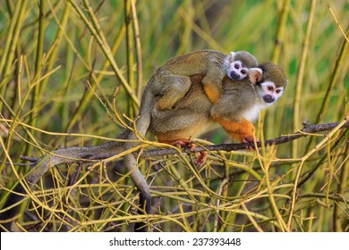 Common squirrel monkey with cube