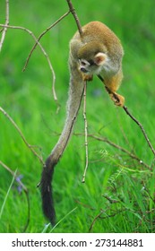 Common squirrel monkey looking for food